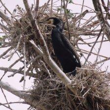 Баклан на гнезде