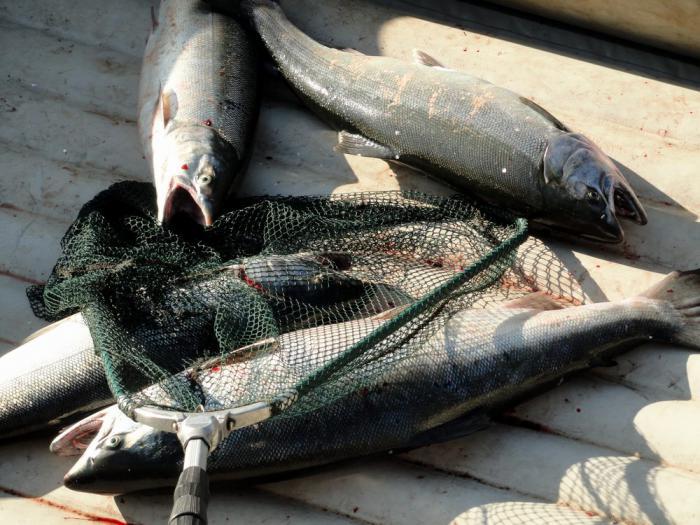 кижуч камчатка рыбалка