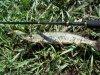 Inborn - врожденное качество ловить!