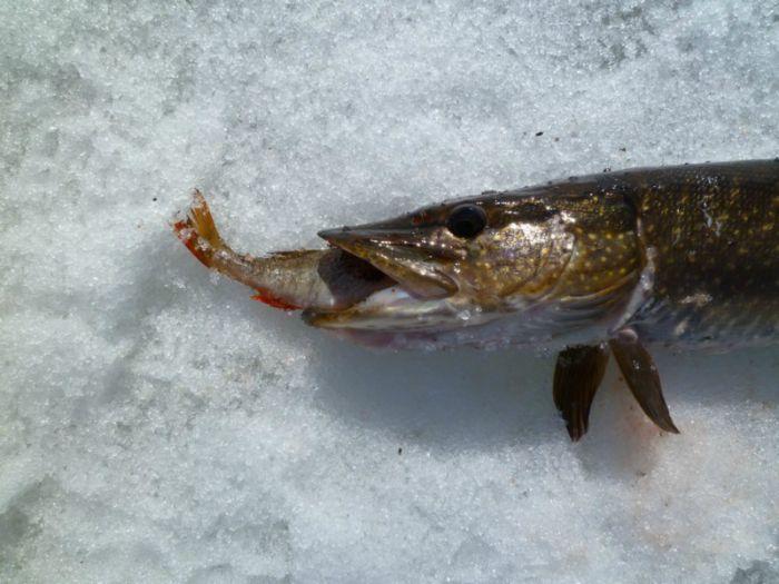 клюет ли рыба на нересте