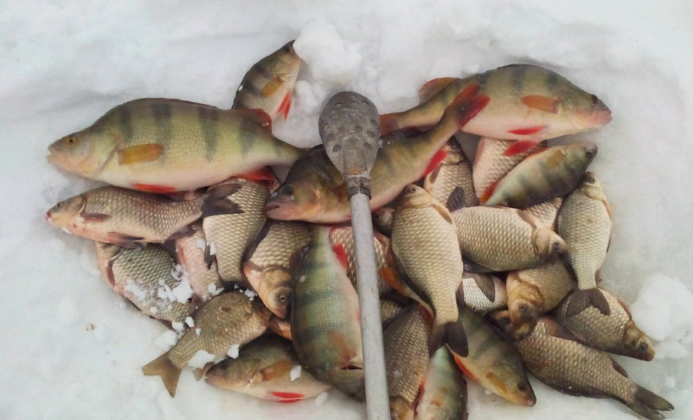 клев рыбы на чебачьем