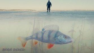 Поклевка окуня на жерлицу. Зимняя рыбалка