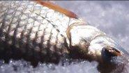 Крупная сорога на мормышку! Активный клев на многогранный гвоздешарик с подсадкой!