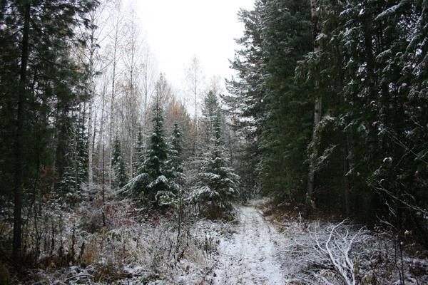 Первый снег в тайге