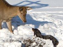 """""""...как вездесущая «Брейта», взять оленя пыталась на клык…."""""""