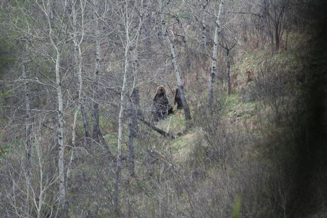 Медведиха с 2 медвежатами.