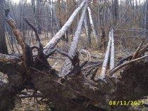 Кто уронил деревья?