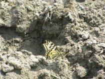Бабочка -красавица