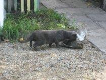 Охотничий кот  с добычей