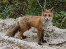 В этом году много лис
