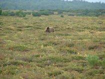 Поехал на охоту на кулика. Смотрю, на тундре Мишка кормится. Расстояние 80 метров.