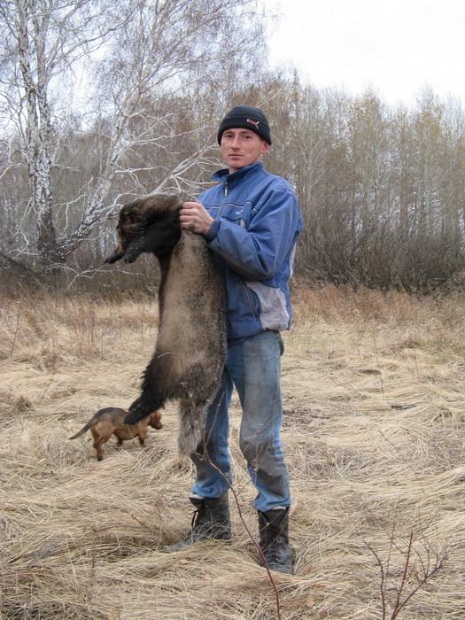 1ый барсук, вывел из строя на 2 дня собак.