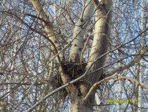 сова  в своём гнезде ели заметна