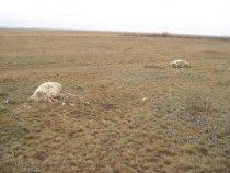 Расстрел колхозного стада