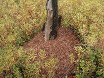 рямовой муровейник