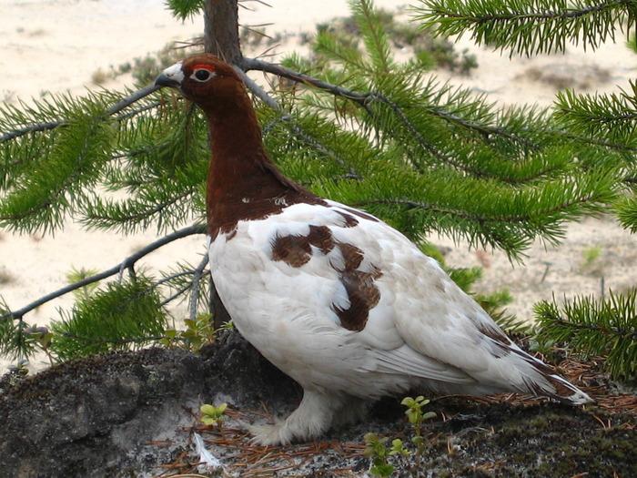 Белая куропатка (ЯНАО, 2007 г.)