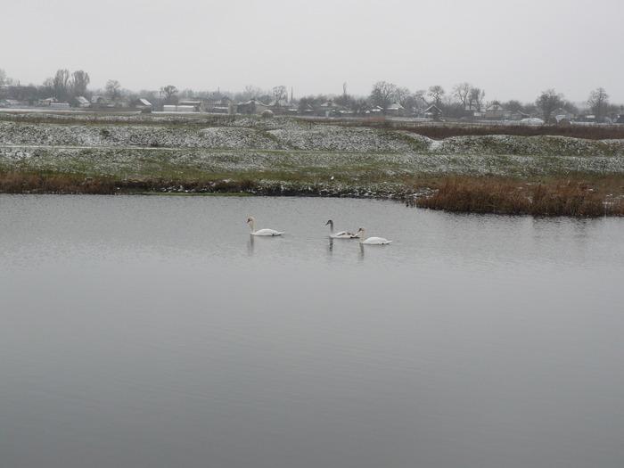На  реке  сидели  лебеди  пасмурным  днём...