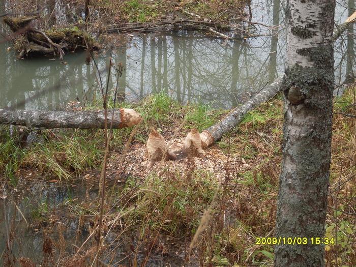 А бобров у нас много, на речках по 10 плотин подряд