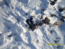 Лиса поймала косачика на краю поля!