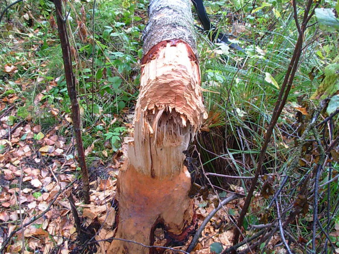 Ещё одно дерево не спасли от бобрика....