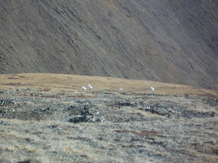 Куропатки в горах!!!