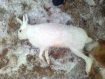 Добыт сегодня из под собаки(гончак) был ранен но позже догнала собака.