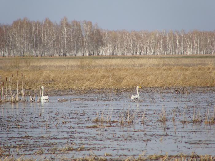 Специально для ЛАЙЧАТНИКА,- дикая природа лебеди мирно плавают с соксонами))))))))))))))