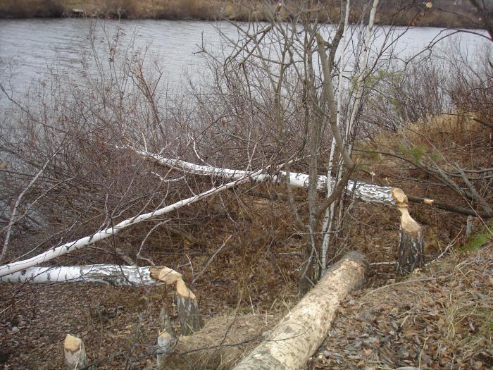 Убей бобра-спаси дерево.