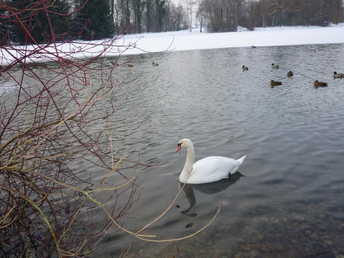 А...,белый лебедь на пруду... .