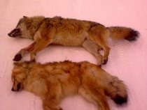 Матерый и волчица
