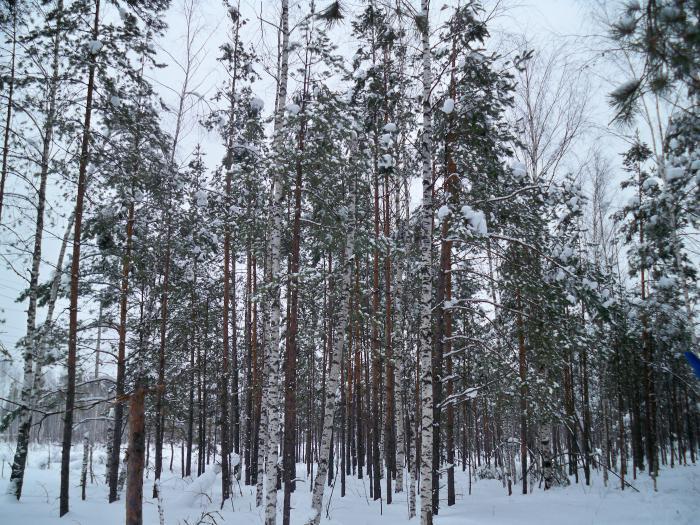 Лес 1