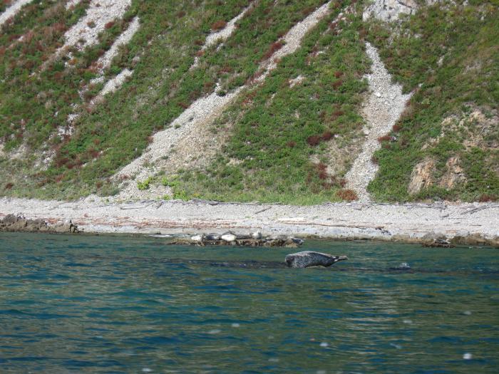 тихоокеанские тюлени