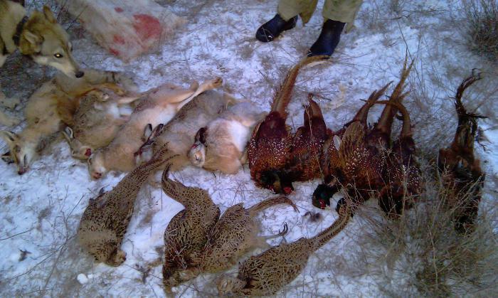 Фазанчики, зайци и лиса.......