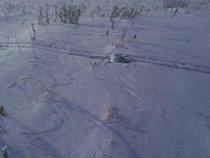 Белячок. Бежал по лыжне.