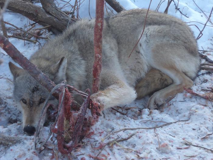 Охота 2012 волк в капкане