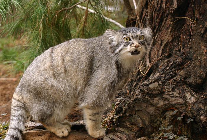фото дальневосточный камышовый кот