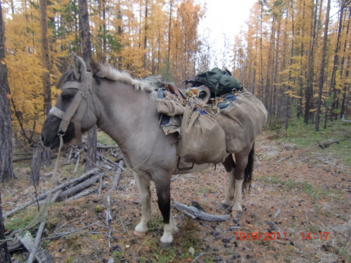 Якутская лошадка - верный спутник и помощник охотника