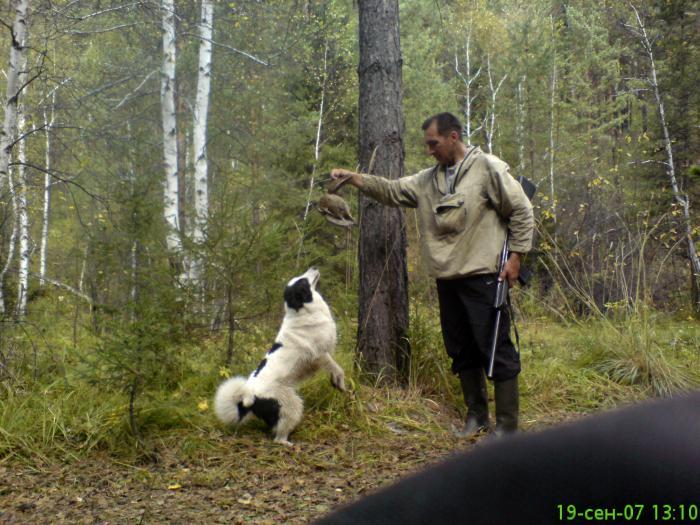 Вальдшнеп из под собаки