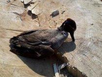 чирок - вкусная птичка