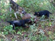 охота на барсука ,есть щенки