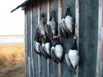 Охота на гусей. База Голубница. п-ов Канин