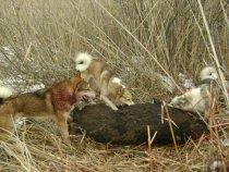охота на кабана варяг малыш оргон