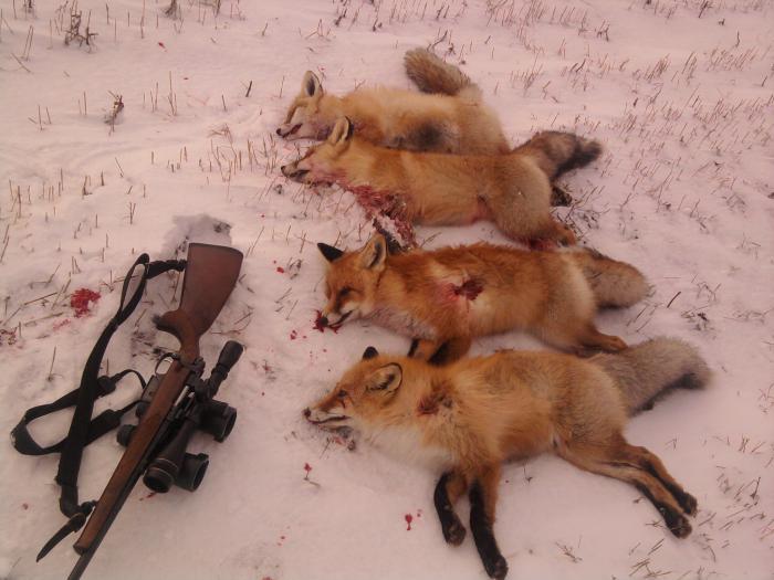 Открылся по лисичке