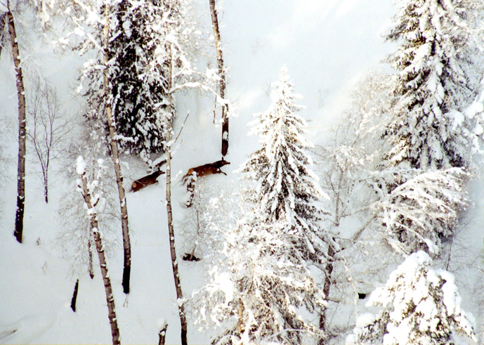Маралы в зимнем лесу