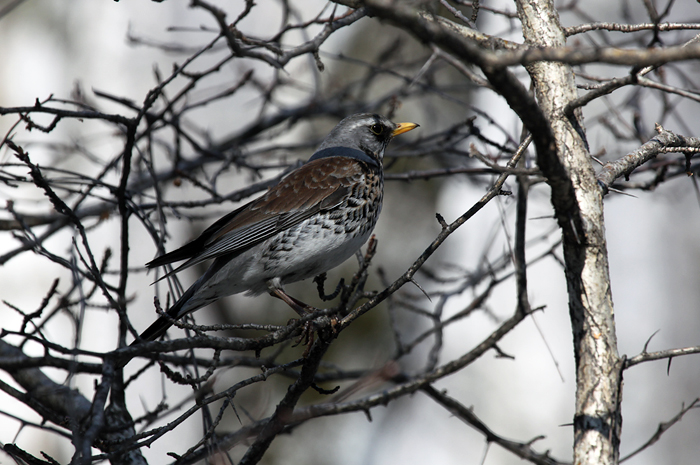 Дрозд-рябинник в ряде регионов РФ отнесен к объектам охоты
