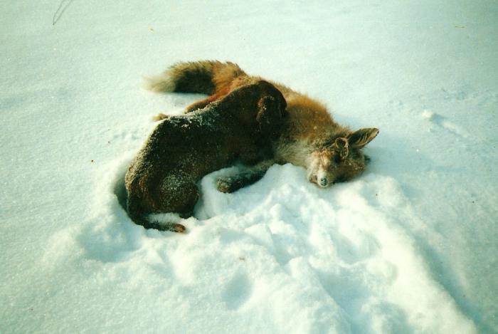 удачная охота на лисицу
