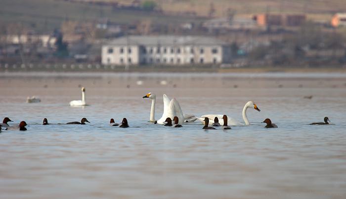 Лебеди и красноголовые чернети