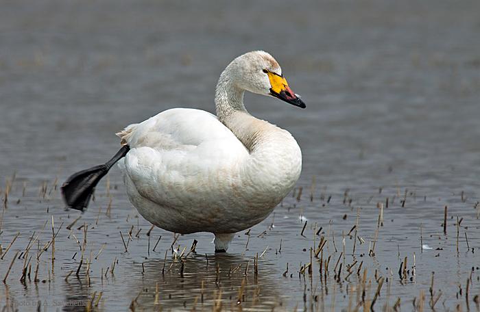 Лебедь - враг или друг?