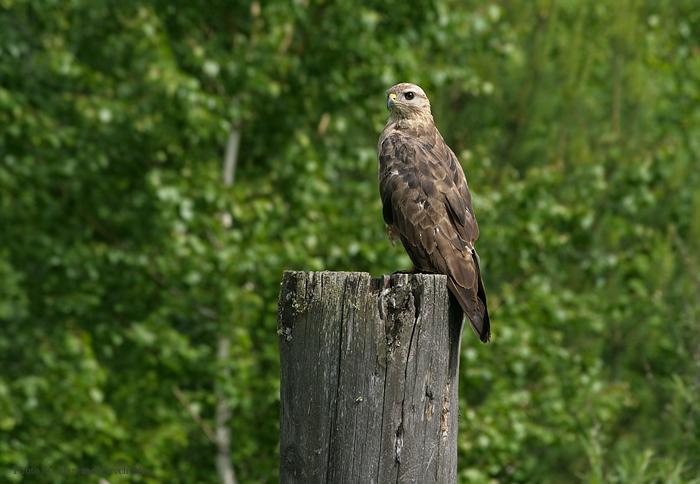 Канюк - одна самых полезных хищных птиц