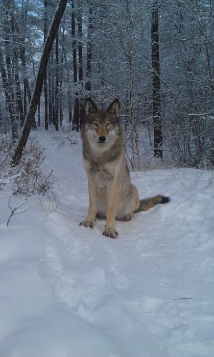 Полярный волк. Таксидермист И.Павлов.